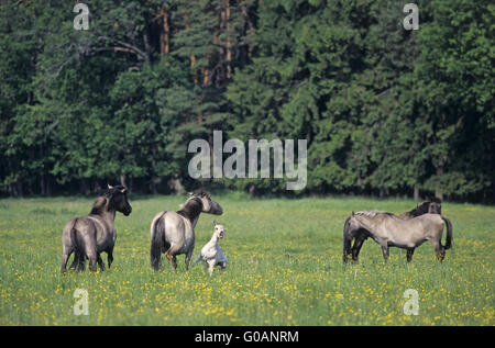 Heck Horse stallion attacking mare and foal - Stock Photo