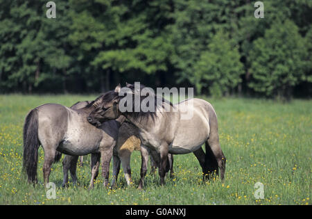 Heck Horse mares grooming each other - Stock Photo