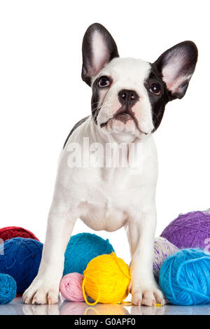 French Bulldog  puppy with a wool balls isolated o - Stock Photo