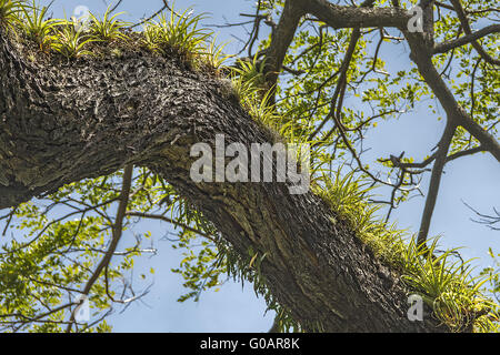 Epiphyte Plants Growing On A Tree St. Kitts West I - Stock Photo