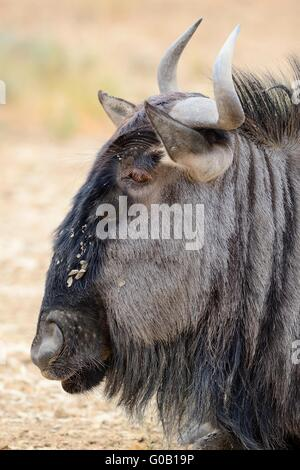 Blue wildebeest (Connochaetes taurinus), lying on ground, face covered with dry mud, Kgalagadi Transfrontier Park, South Africa