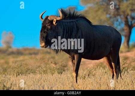 Blue wildebeest (Connochaetes taurinus), male, standing on grassland, early morning, Kgalagadi Transfrontier Park, - Stock Photo