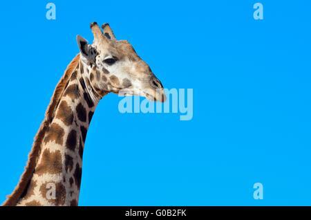 Giraffe (Giraffa camelopardalis), adult, portrait, Kgalagadi Transfrontier Park, Northern Cape, South Africa, Africa - Stock Photo