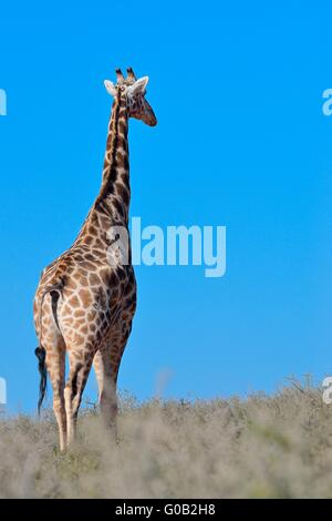 Giraffe (Giraffa camelopardalis), adult, looking around, Kgalagadi Transfrontier Park, Northern Cape, South Africa, - Stock Photo