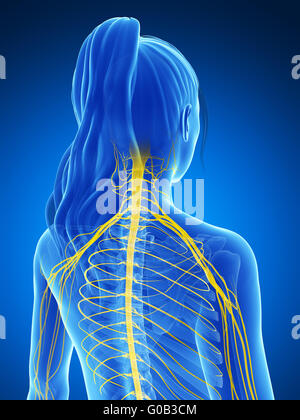 3d rendered illustration of the female nervous system - Stock Photo