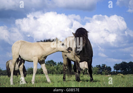 Heck Horse stallion and colt - Stock Photo