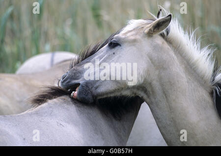 Heck Horse stallions grooming each other - Stock Photo