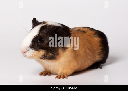 Small colored guinea pig - Stock Photo