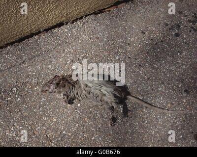 brown rat, common rat, street rat, wharf rat - Stock Photo