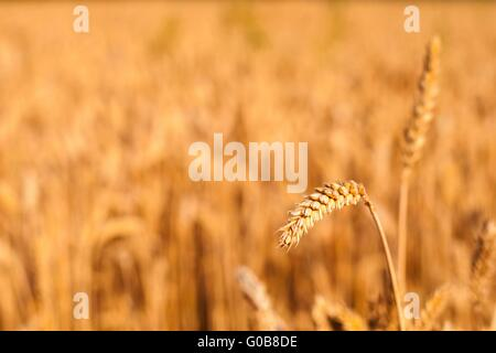 Detail of wheat spike ready to be harvested with blurred wheat field in background. Selective focus. Space on left - Stock Photo