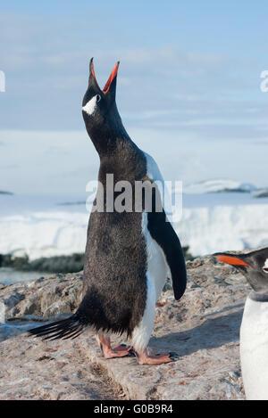 Screaming penguin - Stock Photo