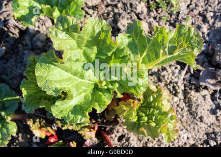 Young sprouts of a rhubarb progrown from the groun - Stock Photo