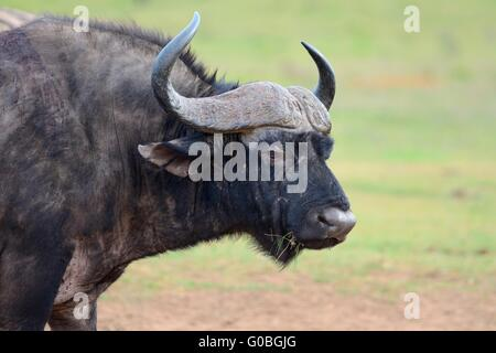 African buffalo or Cape buffalo (Syncerus caffer), animal portrait, Addo National Park, Eastern Cape, South Africa, - Stock Photo