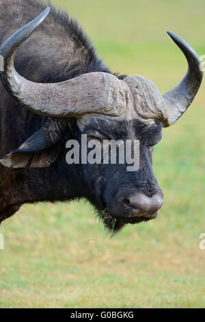 African buffalo or Cape buffalo (Syncerus caffer), portrait, Addo National Park, Eastern Cape, South Africa, Africa - Stock Photo
