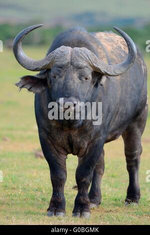 African buffalo or Cape buffalo (Syncerus caffer), standing on a meadow, back covered with dry mud, Addo National - Stock Photo