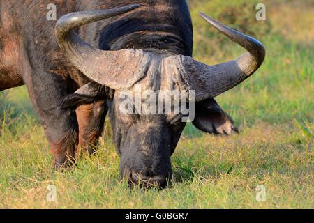 African buffalo or Cape buffalo (Syncerus caffer), grazing, Addo National Park, Eastern Cape, South Africa, Africa - Stock Photo