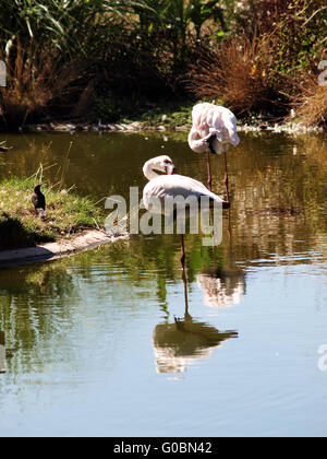 Two pink flamingos standing in pool of water preening - Stock Photo