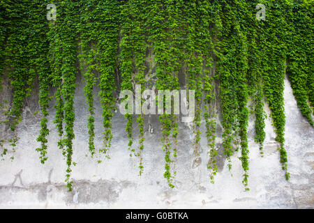 Old concrete wall covered with the green ivy - Stock Photo