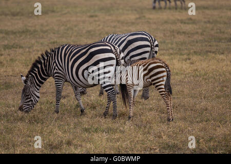 A Burchell's zebra baby diking from its mother in the Ngorongoro crater of Tanzania. - Stock Photo