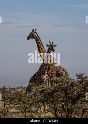 Two Rothschild's giraffes (Giraffa camelopardalis rothschildi) crossing necks. A mother with its calf in the wonderful - Stock Photo