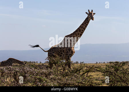 A Rothschild's giraffe (Giraffa camelopardalis rothschildi) mother and its calf walking on the plains of wonderful - Stock Photo