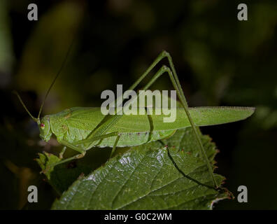 sickle-bearing bush cricket  Phaneroptera falcata? - Stock Photo