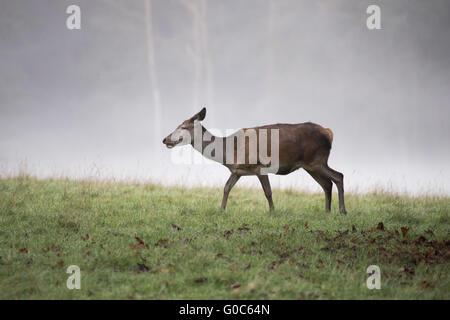 one reed deer female in the fog
