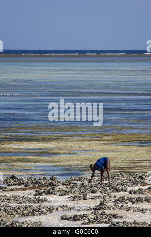 A local fisherman searches for cockles at a Zanzibari beach. - Stock Photo