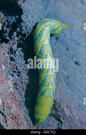 Death's Head Hawkmoth (Acherontia atropos) Caterpillar - Stock Photo
