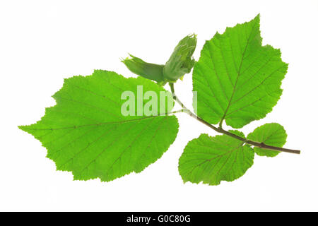 Common Hazel Corylus avellana twig with nuts and leaves