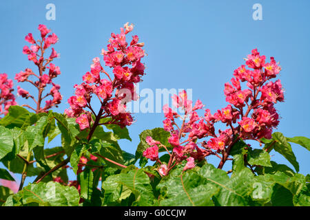 Red flowers of buckeye (Aesculus genus) on the blue sky background - Stock Photo