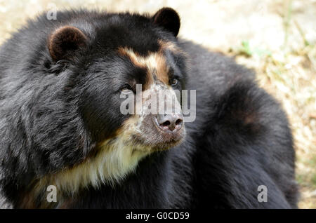 Front portrait of  andean bear (Tremarctos ornatus), also known as the spectacled bear - Stock Photo
