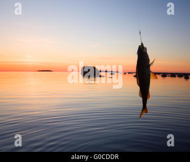 beautiful and successful fishing on a perch at sunset - Stock Photo