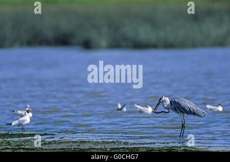 Grey Heron captures a River Eel on a mudflat - Stock Photo