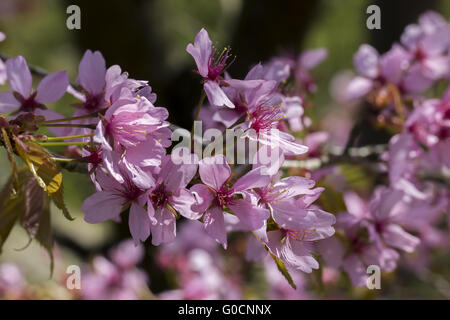 Prunus sargentii, Japanese cherry tree, Germany