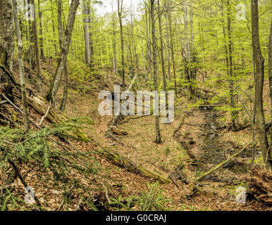 Primeval beech forest on broders between Slovakia and Ukraine in eastern Europe - Stock Photo