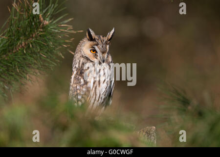 Long Eared Owl; Asio otus Single in Pine Tree Cornwall; UK Stock Photo
