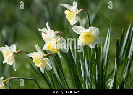 Daffodils growing along the river Cam in Cambridge - Stock Photo