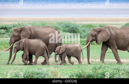 Elephant group on the savanna, Lake Manyara National Park, Tanzania, East Africa - Stock Photo