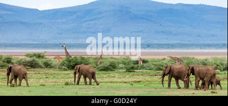 Elephants and giraffes on the savanna, Lake Manyara National Park, Tanzania, East Africa - Stock Photo