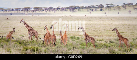 Herd (or tower) of giraffes on the Serengeti Plain, Serengeti National Park, Tanzania, East Africa - Stock Photo