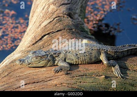 Baby Crocodile Sunbathing - Stock Photo
