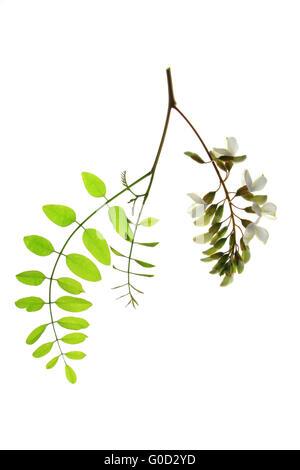 Black Locust / False Acacia (Robinia pseudoacacia) - Stock Photo