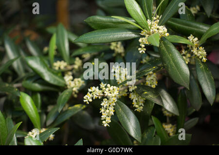 blooming olive tree - Stock Photo