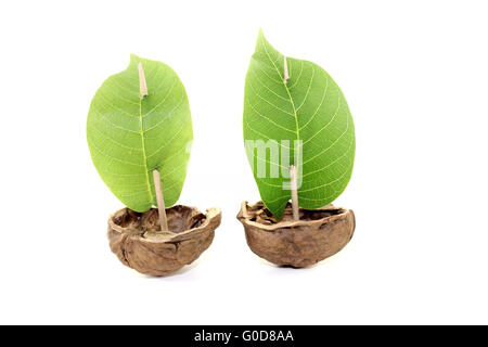two cockleshell from a walnut shell with sails - Stock Photo