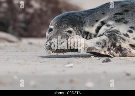 Grey seal Heligoland - Stock Photo