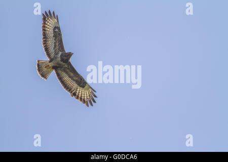 Common buzzard (Buteo buteo) - Stock Photo