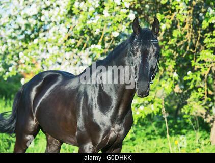 beautiful black  stallion near blossom trees - Stock Photo