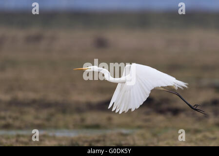 Great egret from Germany - Stock Photo