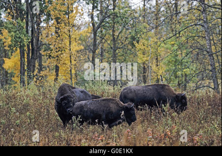 American Bison bull test receptiveness from a cow - Stock Photo